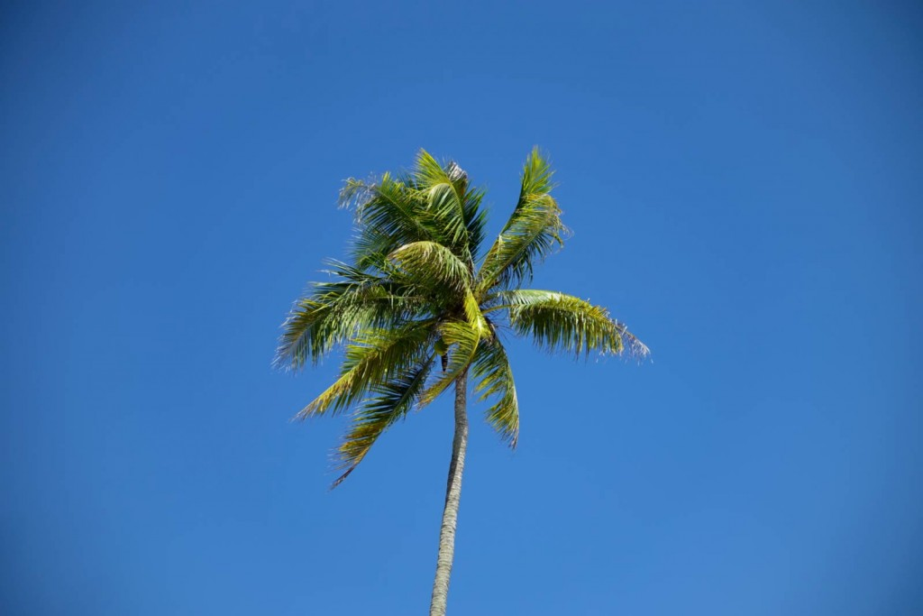 Palmenkrone