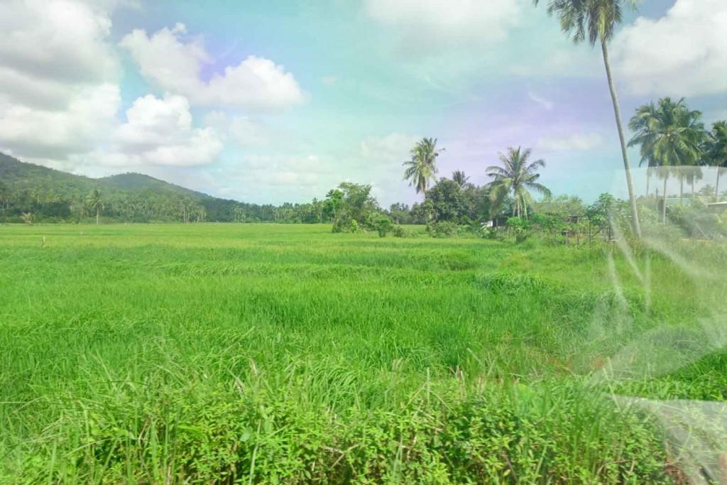 Reisfelder bei Kampung Padan Kemunting